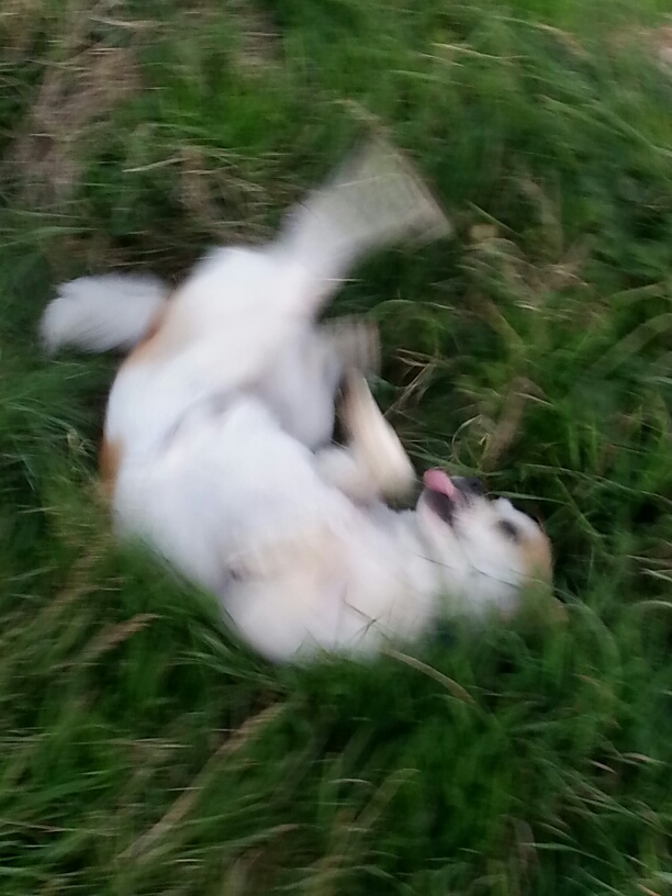 Picture:  GouGou rolling in the grass, one happy dog.