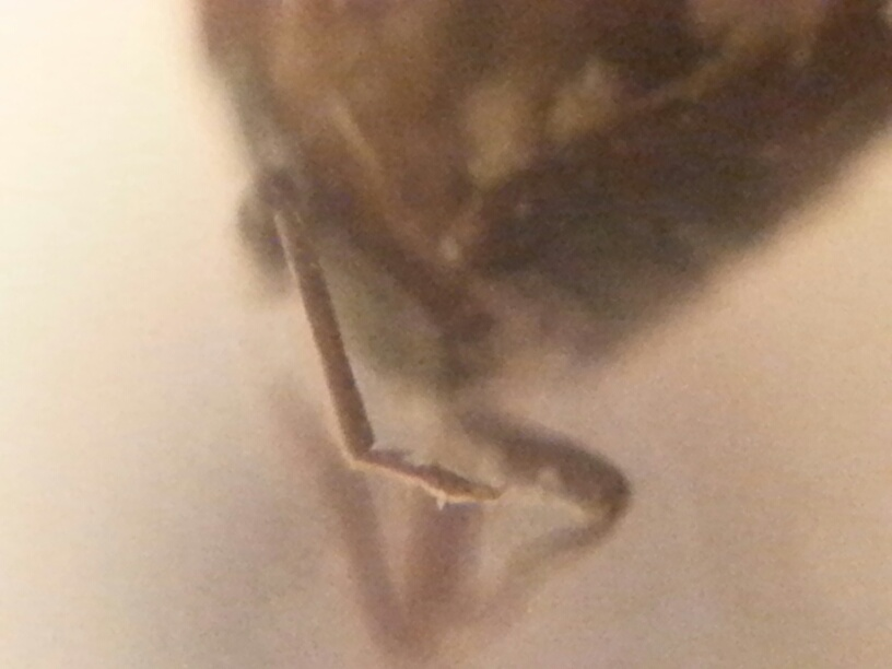 Picture:  Fragment of the bug that at the alder, with something that looks like a leg.